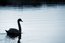 Free Swan28 Stock Images - 614284