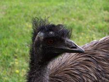 Free Emu Stock Photos - 615343
