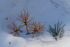 Pine Branches In A Snow. Stock Photos