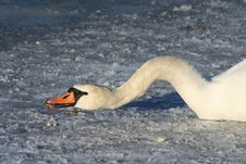 Free Swan Eating Royalty Free Stock Photo - 615515