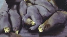 Sea Lions Sleeping Stock Photos