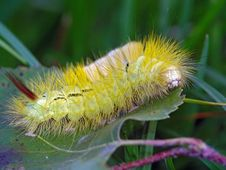 Free Caterpillar Of Butterfly Dasychira Pudibunda. Royalty Free Stock Photo - 615825