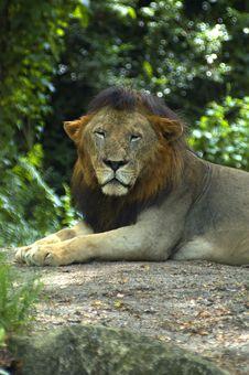 Free Lion Royalty Free Stock Photo - 615885