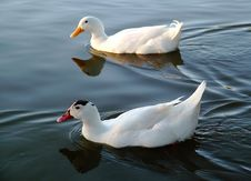 Free Two Ducks Royalty Free Stock Image - 615996