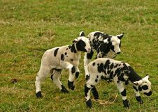 Free Group Of Small Lambs Stock Image - 616041