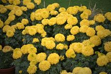 Blooming Marigolds India Stock Photo