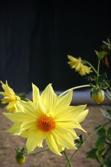 Free Yellow Dahlia Flower Stock Photography - 616432