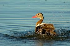 Free Duck Taking A Shower Stock Photo - 616580