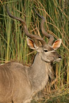 Free Kudu Royalty Free Stock Images - 616719