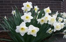 Free White Daffodils Stock Photo - 616840