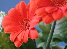 Free Orange Flowers Royalty Free Stock Images - 616859