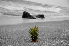 Free The Lone Pineapple 2 Stock Images - 617714