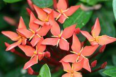 Free Star Flower Stock Photo - 617980