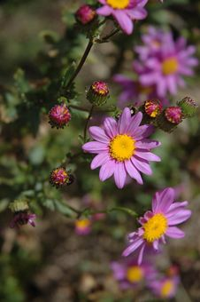 Free Purple Daisy Stock Images - 618084