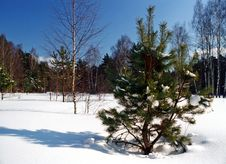 Free Fir Tree In Winter Royalty Free Stock Photography - 618127