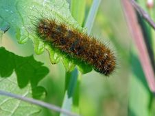 Caterpillar Of The Butterfly Of Family Arctiidae. Stock Photo