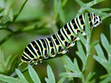Free Caterpillar Of Butterfly Papilio Machaon. Royalty Free Stock Photo - 618465
