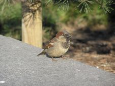 Free Sparrow Stock Photography - 618572