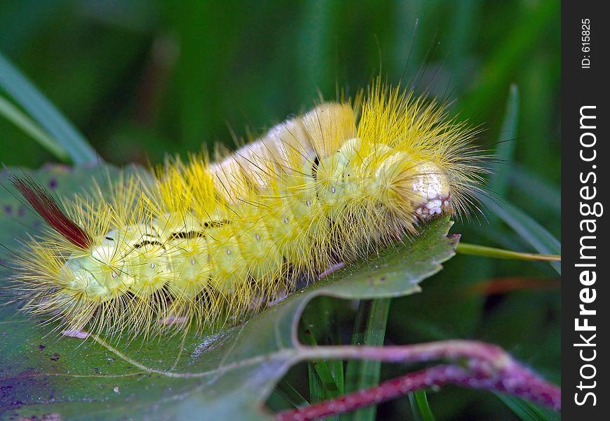 Caterpillar of butterfly Dasychira pudibunda.