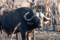 Free Buffalo On The Guard Royalty Free Stock Image - 6105626