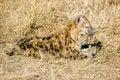 Free Hyena Cub Stock Images - 6106594