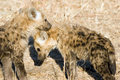 Free Hyena Cubs Stock Images - 6106604