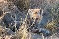 Free Hyena Cub Royalty Free Stock Photo - 6106915