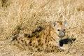 Free Hyena Cub Royalty Free Stock Photos - 6107148