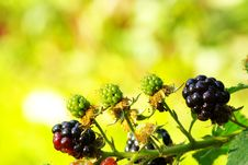 Free Blackberries Royalty Free Stock Photos - 6100268