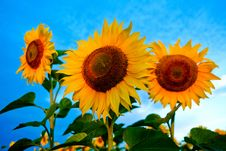 Free Bright Sunflowers Stock Photography - 6101292