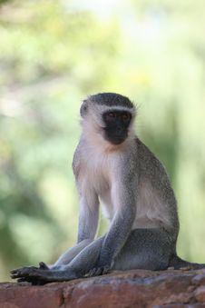 Monkey Look Royalty Free Stock Photography