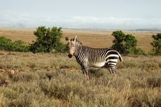 Cape Mountain Zebra (Equus Zebra) Royalty Free Stock Photography