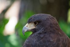 Free Falcon Face Royalty Free Stock Images - 6102749
