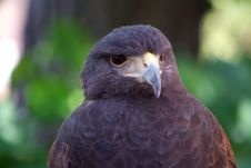 Free Falcon Face Royalty Free Stock Photography - 6102757