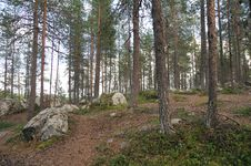Forest Of Pine Royalty Free Stock Photo