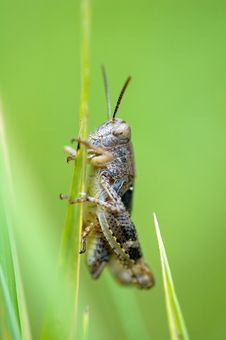Free Grasshopper On Green Stock Images - 6104154