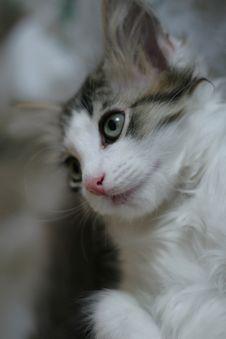 Free Kitten Royalty Free Stock Photo - 6104305