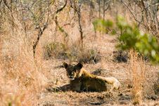 Lion In The Bush Royalty Free Stock Photography