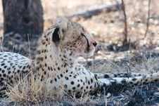 Free Cheetah At Rest Stock Photography - 6104972