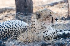 Free Cheetah On The Guard Royalty Free Stock Images - 6105019