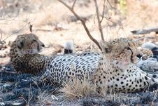 Free Cheetah On The Guard Royalty Free Stock Photo - 6105555