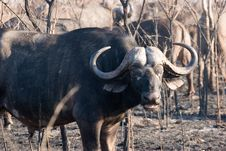 Free Buffalo On The Guard Royalty Free Stock Image - 6105626