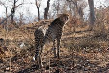 Free Cheetah On The Guard Stock Image - 6105701