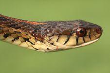 Garter Snake Royalty Free Stock Photos