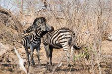 Free Zebra Couple Royalty Free Stock Images - 6106309