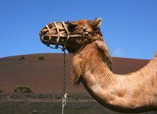 Free Camel Stock Image - 6106881