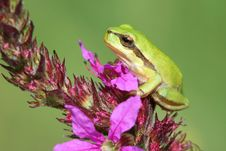 Free Little Tree-frog Stock Photography - 6107172