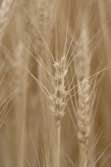 Free Wheat Royalty Free Stock Image - 6108336