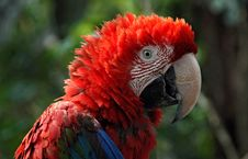 Free Red Parrot Stock Images - 6108554