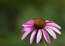 Free Echinacea Stock Image - 6109171